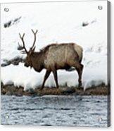 Riverside Elk Acrylic Print