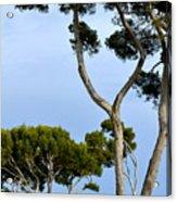 Riviera Trees Acrylic Print