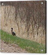 Roadside Rooster Pheasant Acrylic Print