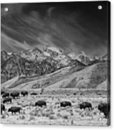 Roaming Bison In Black And White Acrylic Print