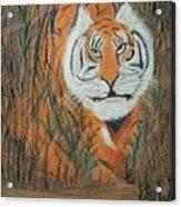 Roaring Tiger James Acrylic Print
