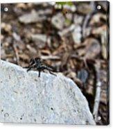 Robber Fly Sitting Acrylic Print