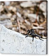 Robber Fly Stalking Acrylic Print