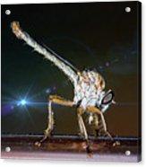 Robber Fly With It's Prey- Efferia Albibarbis Acrylic Print