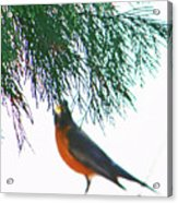 Robin 2 Acrylic Print