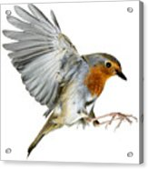 Robin Alighting Acrylic Print