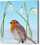 Robin And Cold Snowdrops Acrylic Print