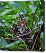Robin Chicks In Nest. Acrylic Print