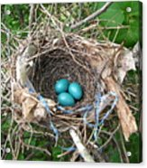 Robin Eggs Acrylic Print