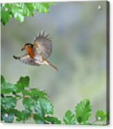 Robin Flying To Nest Acrylic Print