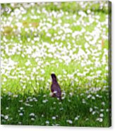 Robin In A Field Of Daisies Acrylic Print