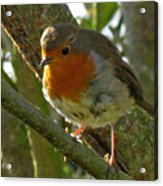 Robin In A Tree Acrylic Print