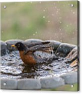 Robin In Bird Bath New Jersey  Acrylic Print