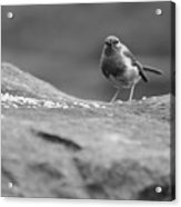 Robin In Black And White Acrylic Print