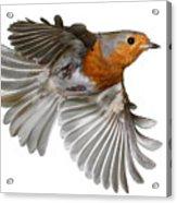 Robin In Flight Acrylic Print