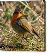 Robin In Hedgerow 2 Inch Donegal Acrylic Print