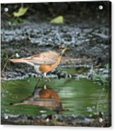 Robin In Reflection Acrylic Print
