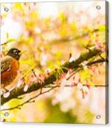 Robin In Spring Blossom Cherry Tree Acrylic Print