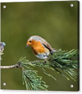 Robin In The Garden Acrylic Print