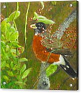 Robin In The Serviceberry Bush Acrylic Print