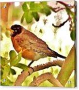 Robin In Tree Acrylic Print