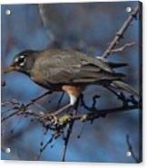 Robin Bird Acrylic Print