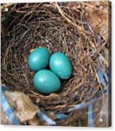Robin Nest Acrylic Print