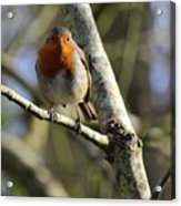 Robin On Branch Donegal Acrylic Print