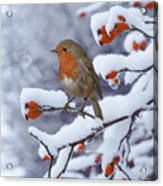 Robin On Snow-covered Rose Hips Acrylic Print