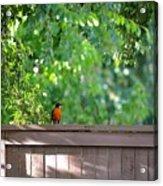 Robin On The Backyard Fence Acrylic Print