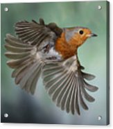 Robin On The Wing Acrylic Print
