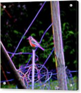 Robin On The Wires Acrylic Print