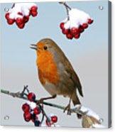 Robin On Winter Cotoneaster Acrylic Print