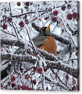 Robin Perched In Crabapple Tree Acrylic Print