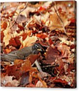 Robin Playing In Fallen Leaves Acrylic Print
