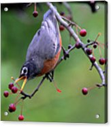 Robin Reaching For Berry Acrylic Print