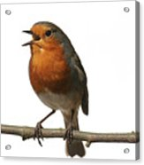 Robin Singing On Branch Acrylic Print