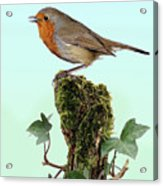 Robin Singing On Ivy-covered Stump Acrylic Print