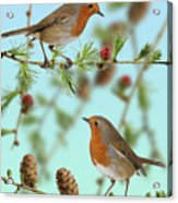 Robins On Larch Acrylic Print
