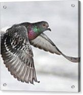 Rock Dove In Flight Acrylic Print
