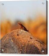 Rock Lizard Acrylic Print