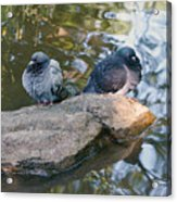 Rock Doves Acrylic Print