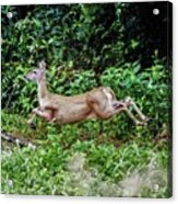 Rocking Deer Acrylic Print