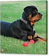 Rottweiler Portrait Acrylic Print