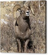 Rocky Mountain Big Horn Sheep Acrylic Print