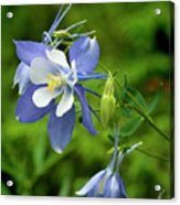Rocky Mountain Blue Columbine Acrylic Print