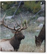 Rocky Mountain Bull Elk And Cow Acrylic Print