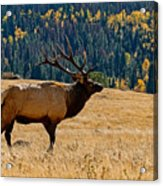 Rocky Mountain Bull Elk Acrylic Print
