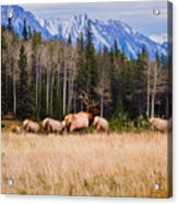 Rocky Mountain Elk In The Rockies Acrylic Print