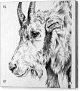 Rocky Mountain Goat Acrylic Print